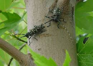 Asian Longhorned Beetle | Tree Spraying